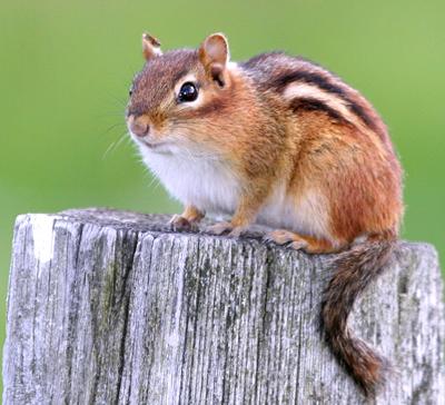 Chipmunks – Wildlife Conflicts